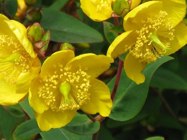 Bild zeigt Johanniskrautpflanze
