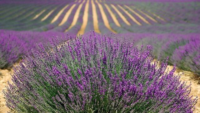 Zeigt Lavendelstrauch