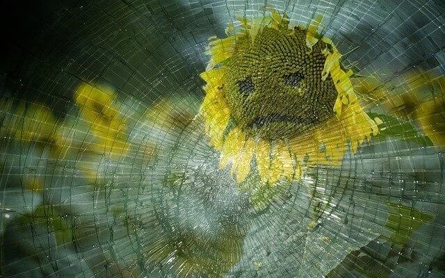 Traurige Sonnenblume hinter Glas